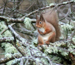 Red Squirrel in the Garden
