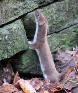 Weasel in our Garden