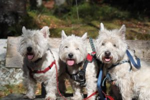 Angus, Frazer and Skye our Westies