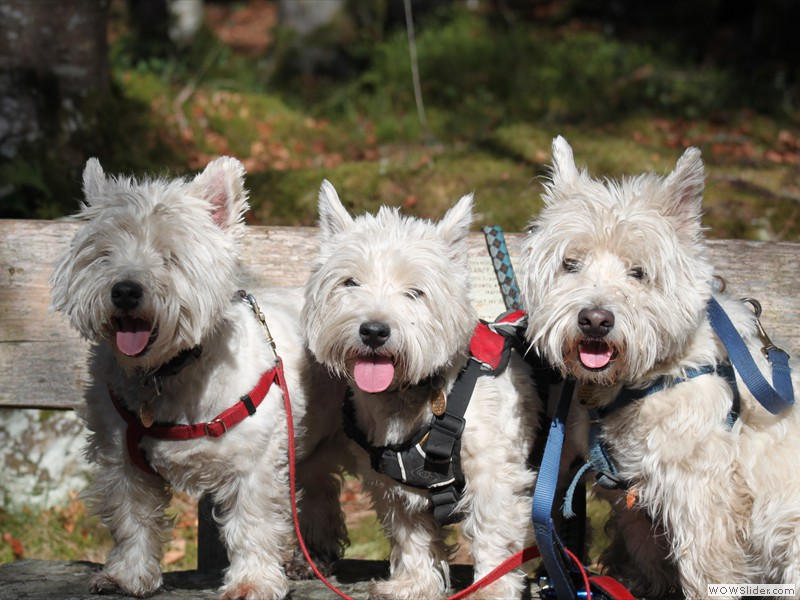 Our Westies - Angus, Frazer and Skye